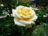 Marunouchi_rose
