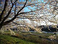 12_sakura